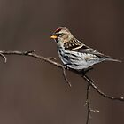 Today's Forecast: Sunny with Periods of Redpolls by Bill McMullen