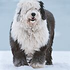 Old English Sheepdog by (Tallow) Dave  Van de Laar