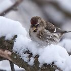 Common Redpoll Eating Snow - Ottawa, Ontario by Stephen Stephen