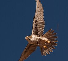 012211 Prairie Falcon by Marvin Collins