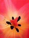 Heart of a Tulip by Jo Nijenhuis