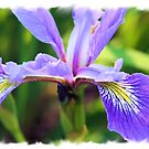 Purple Iris Cloud by teresa731