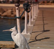 White Heron, Hurghada, Egypt 2011 by Timothy Adams