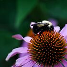 Bumble Bee on Cone Flower by Diane Blastorah