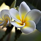 Frangipani #2 by Evita