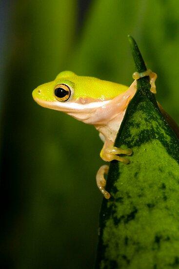 """""Hang Sixteen"" - an american green tree frog"" by John ..."