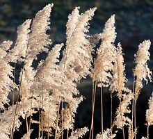 reeds in light by Joeblack