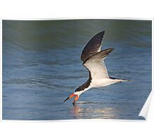 Black Skimmer - Ft. Desoto, Florida Poster
