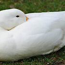 Napping Duck by Jeanie93