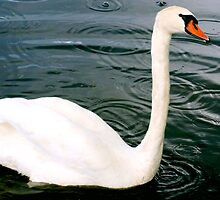 Swan in light drizzle by ♥⊱ B. Randi Bailey