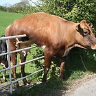 Cow and Gate. by prestongeorge