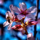 Almond tree in bloom by marcopuch