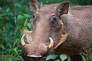 Warthog  (Phacochoerus africanus) by Chris Westinghouse