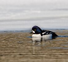 Barrows Goldeneye by jamesmcdonald