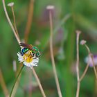 Green metallic bee on Southern fleabane by Ben Waggoner