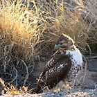 Red-Tailed Hawk - Morning Light by Kimberly P-Chadwick