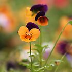 Colourful Pansies by Edyta Magdalena Pelc