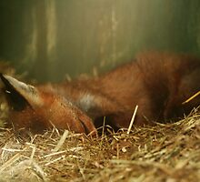 Sleeping Fox by AnnDixon