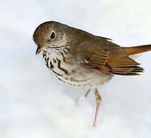 Hermit In The Snow  / Hermit Thrush by Gary Fairhead