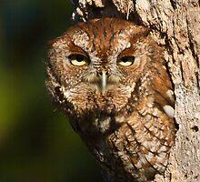 Screech Owl by noffi