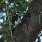 Acorn Woodpecker by Karen Checca