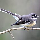 Grey Fantail - Taken Newcastle Area of NSW by Alwyn Simple