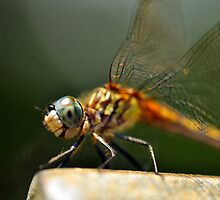 Yes, I Love Dragonflies by Kim McClain Gregal