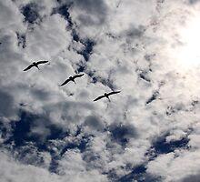 Pelicans by MDossat