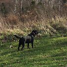 Black Labrador Retriever by rabshear