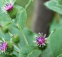 Purple Burdock - Bloomer Park Rochester Hills by Joy Fitzhorn