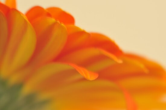 Orange Gerbera Daisy 2, As Is by Kim McClain Gregal