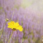 Yellow Daisy by sarpat