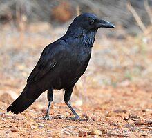 Australian Raven taken Yowah in Western Qld. by Alwyn Simple