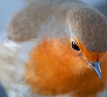 Close up of a Robin by memaddock