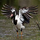 Magpie Goose. by trevorb