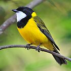 Golden Whistler - Paluma Nth Qld. by Alwyn Simple
