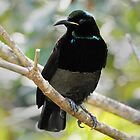 Victoria&#x27;s Riflebird (Male) taken at Paluma by Alwyn Simple