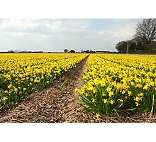 Flowering Daffodils Fields Photographic Print