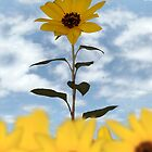 sunflower  by morrbyte
