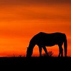 Horse at Sunset  Buckinghamshire  UK by James  Key