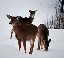 Deer in the Snow by Diane Blastorah