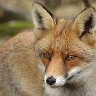 Fox (1) by angeljootje