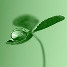 Clover dew drop by Lyn Evans