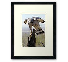 Gray Hawk  Framed Print