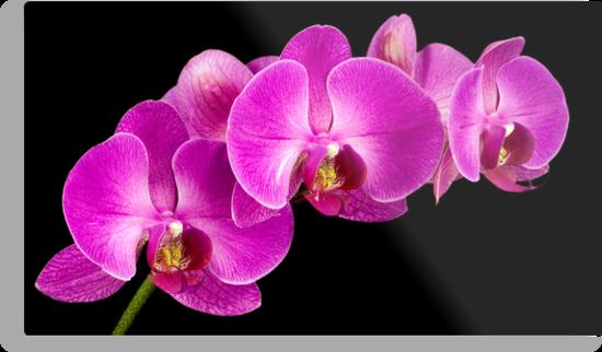 Pink Orchid by Daniel J. McCauley IV