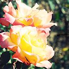 Peace roses in sunlight by honeyandollie