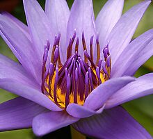 Lily Magic by Kym Howard