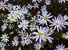 Mauve Daisys at Meelup by Leonie Mac Lean