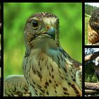Birds of Prey Collage by AnnDixon