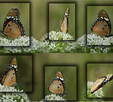 "Butterfly Collage... ""Danaus chrysippus (African monarch)"" by Qnita"